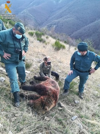 Matan una hembra de oso pardo de un disparo accidental