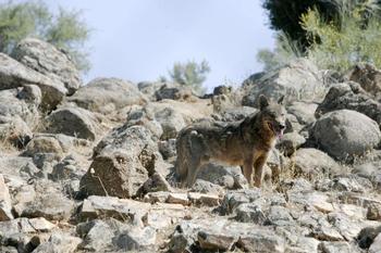 Vueven los ataques de lobos al ganado en Guadalajara