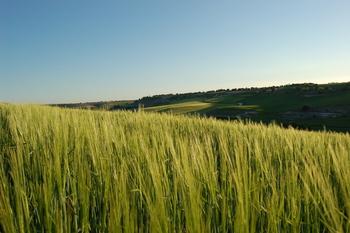 Cereales: mandan las importaciones