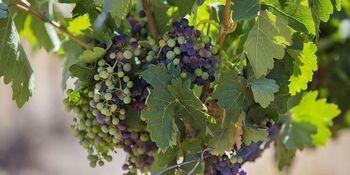 Agricultura solo aprueba 194 nuevas hectáreas de viñedo
