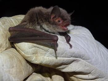 Confirman reproducción de murciélago en peligro de extinción