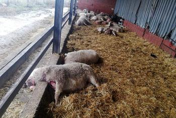 UPA denuncia el repunte de ataques de lobos al ganado