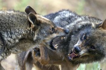El Gobierno quiere que suba la población de lobo