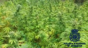 Desmantelada una plantación de marihuana cerca de Aranda