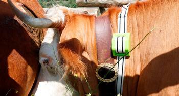 Una vaca luce su collar tradicional para el cencerro y el nuevo collar creado al amparo del proyecto