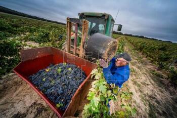Ribera del Duero asegura una vendimia de 'muy buena calidad'