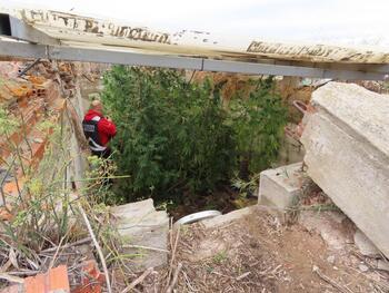 Desmantelado un cultivo de marihuana oculto en Aranda
