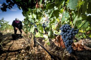 Vendimia: 109 millones de kilos de uva y calidad «excelente»