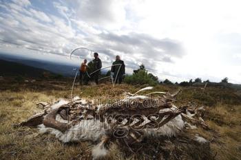 Los lobos acaban con un centenar de ovejas en Quintanar