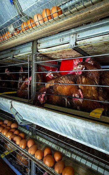 Un 80% de las granjas avícolas deberá eliminar las jaulas