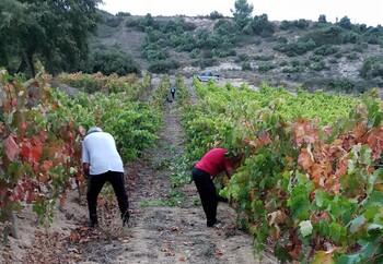 La vendimia en Miranda superará los 550.000 kilos de uva