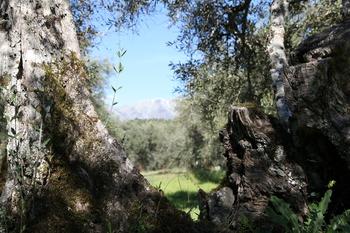 Habrá programa específico para el olivar tradicional
