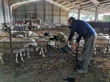 Buen momento para el ovino de Soria pese al lobo