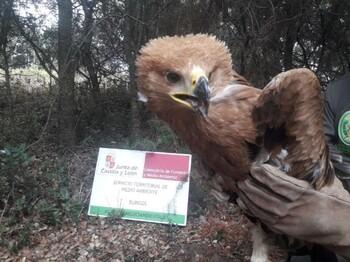 Rescatan a un pollo de águila imperial en la Ribera
