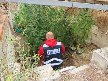 Detenido el responsable del cultivo de marihuana en Aranda