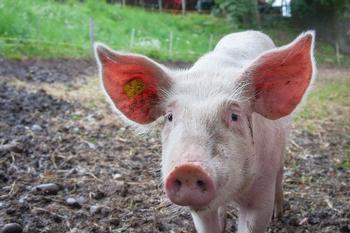 Milagro y riesgos del porcino