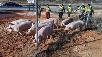 Vuelca un camión de cerdos en la Venta Nueva