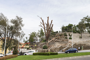 Talan el eucalipto del parque de la Vega seco tras Filomena