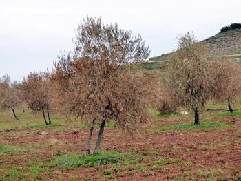 El 50% del cultivo del olivar dará una buena cosecha