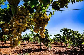 Las solicitudes para plantar vid superan el cupo de España