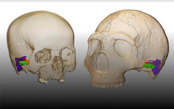Demuestran que los neandertales podían hablar entre ellos