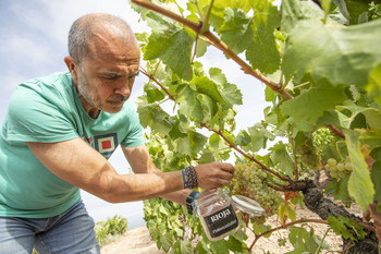 La uva apunta a una gran calidad ayudada por un buen verano
