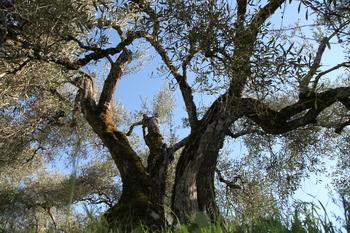 «El olivar es una joya que debemos mimar al máximo»
