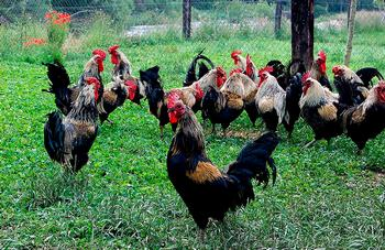 Los gallos se crían en semilibertad y no provocan olores ni contaminación.