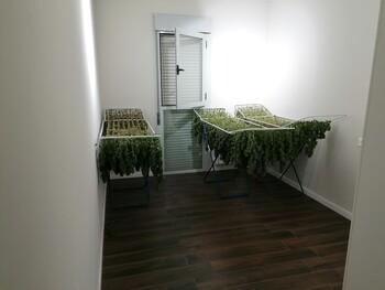 Cuatro detenidos con plantaciones indoor de marihuana