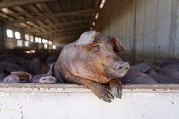 Los productores de porcino defienden las macrogranjas