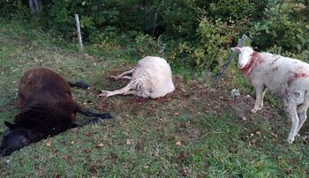 Atribuyen al lobo la muerte de seis ovejas en Las Machorras