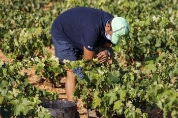 Asaja prevé una reducción del 20% en la campaña vinícola
