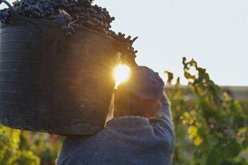 Rioja entra de lleno en vendimia, con 90 millones recogidos
