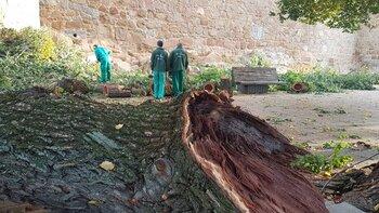 Se cae una gran rama de un árbol del Paseo del Rastro