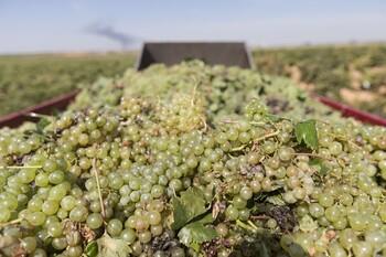 Asaja, satisfecha por la subida de precios de la uva airén