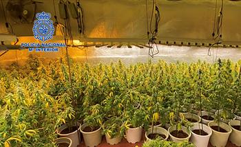 Desmantelada una sofisticada plantación de marihuana