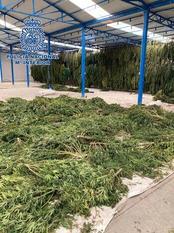 Golpe a las macroplantaciones de marihuana