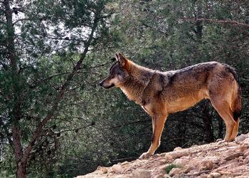 11 CCAA piden retirar al lobo de la lista de especies protegidas