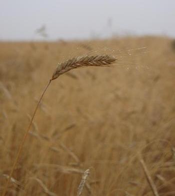 El cereal ecológico salta del campo a la web