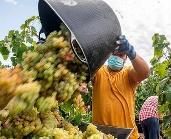 La uva que entra en bodega presenta un buen estado sanitario