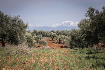Acusan a Planas de discriminar el olivar tradicional de CLM