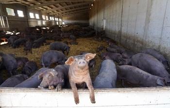 Las granjas de cerdos en pueblos repunta un 15% en 10 años