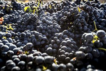 Asaja alerta de «sospechas» de fraude en el sector del vino