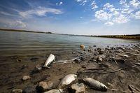 peces muertos en el pantano del Vicario. peces muertos pez muerto en el pantano del vicario, sequia, verano