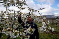 Los cerezos en flor de Caderechas