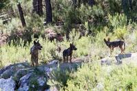 El plan de gestión del lobo sigue adelante tras la moratoria