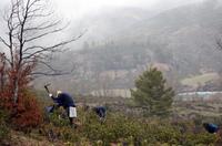 Reforestación en el Alto Tajo con pinos y níscalo inoculado