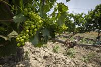 La Rioja impulsa su liderazgo en I+D+i en vitivinicultura