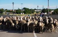 Paso de un rebaño de ovejas trashumantes por la localidad vallisoletana de Tordesillas