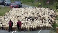 Vuelta a casa: miles de ovejas ponen rumbo al norte